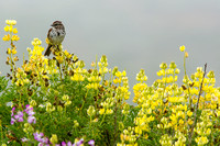 Song sparrow on yellow bush lupine
