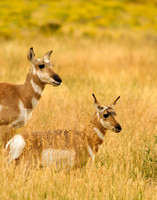Old and young pronghorns