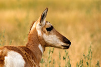 Pronghorn portrait in profile