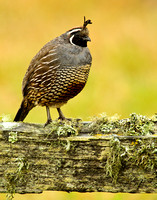 California quail on lichen covered fence in Point Reyes National Seashore