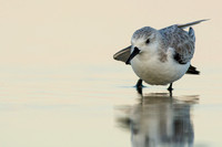 Sanderling stretch at sunset