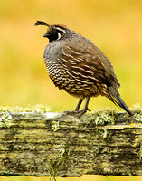 Fluffed quail, old fence