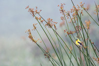 Goldfinch on the reeds