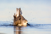 Sanderling splash