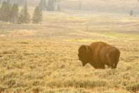 Bison in the sagebrush at sunset