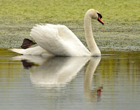 Mute swan with impressionistic reflection