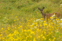 Mule deer on the hillside