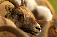 Bighorn sheep in the herd