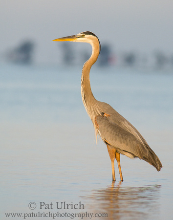 Great blue heron at Bunche Beach