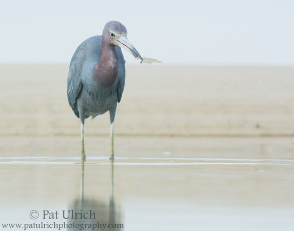Little blue heron shows off a fish