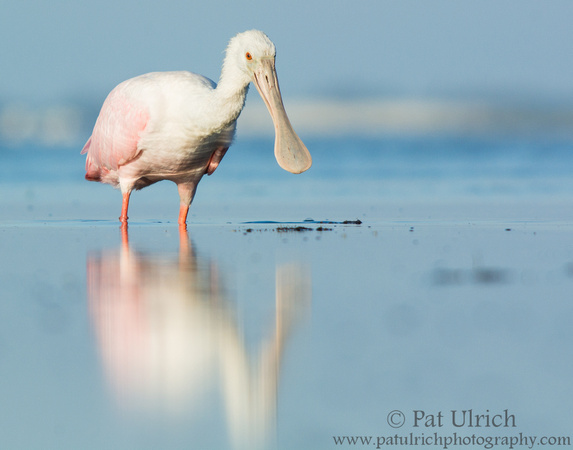 Spoonbill reflected in a tidal pool