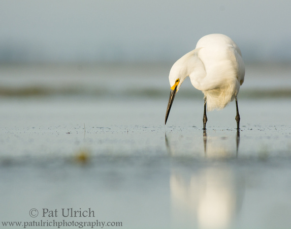 Snowy egret searching for prey