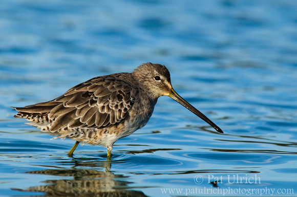 Dowitcher in blue waters