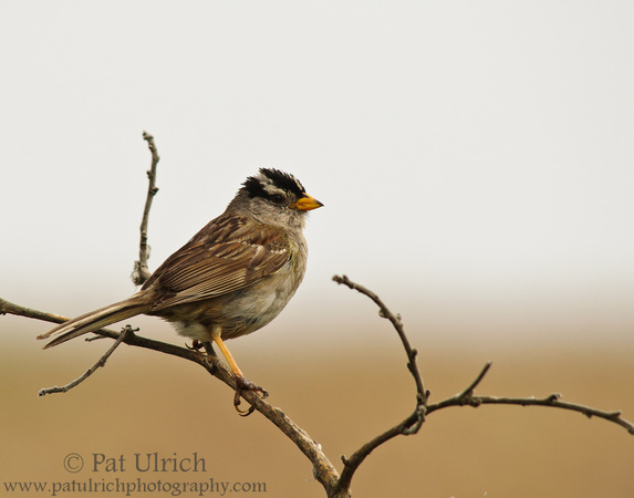 White-crowned sparrow on the branches