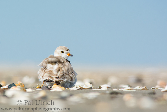 Plover parent with one chick under its wing