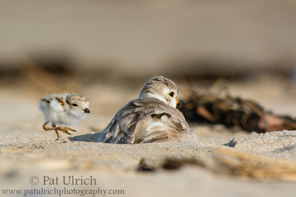 Plover chick checking in
