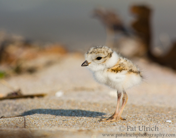 Chick on the beach
