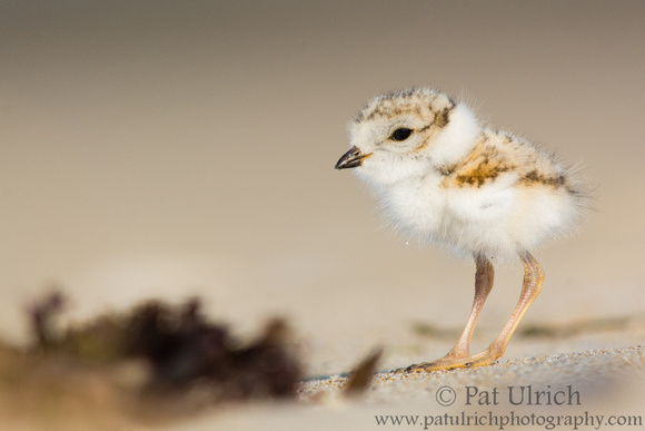 Plover chick in profile