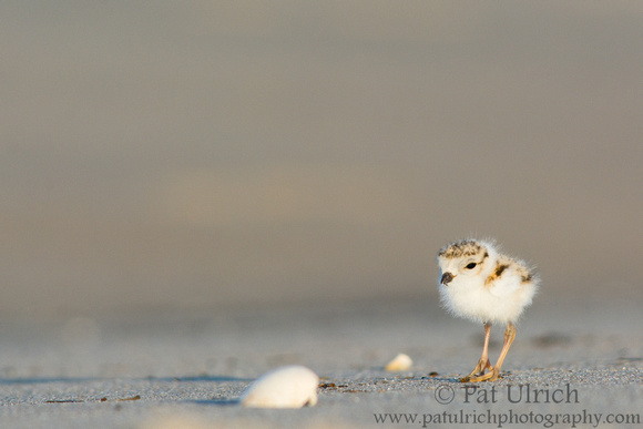 Piping plover chick at Sandy Point State Reservation