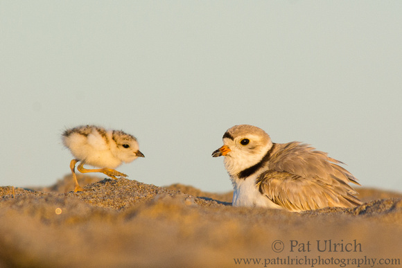 Plover chick approaches its parent