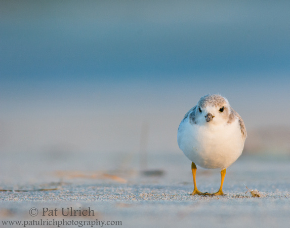 Piping plover at dawn