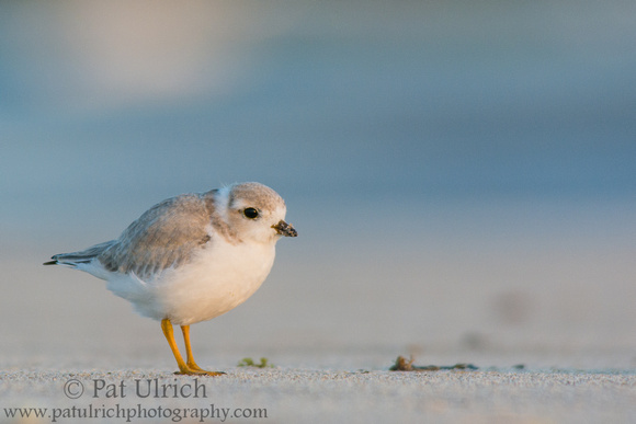 Plover on the beach at sunrise