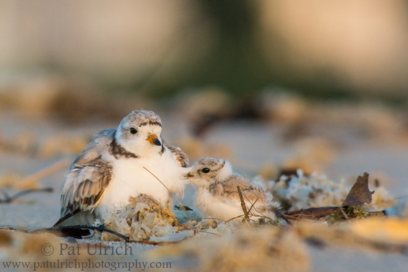 Plover chick ready to snuggle