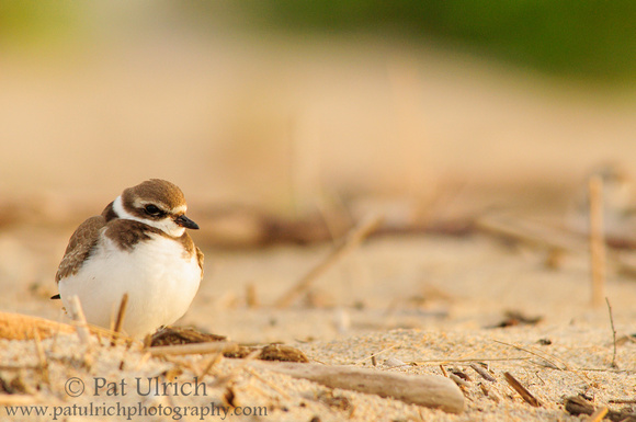 Plover in fading light
