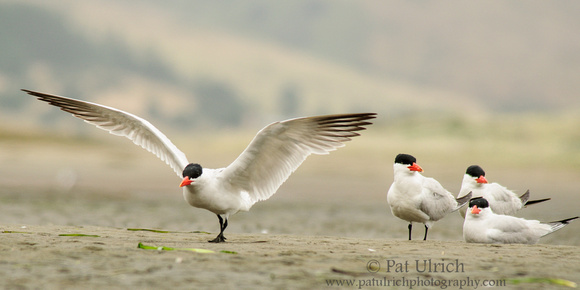 Caspian tern touching down