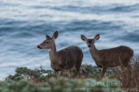 Doe and fawn overlooking the Pacific Ocean