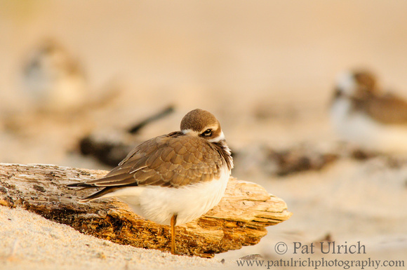 Plover with an eye open