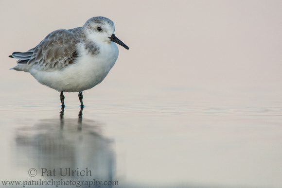 Sanderling in the shallows after sunset