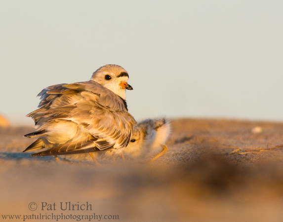 Piping plover keeping chicks warm at sunrise