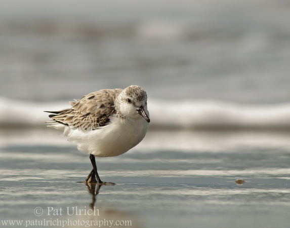 Sanderling along the shore