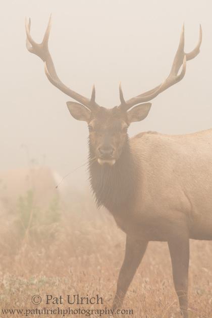 Tule elk under heavy fog in Point Reyes National Seashore