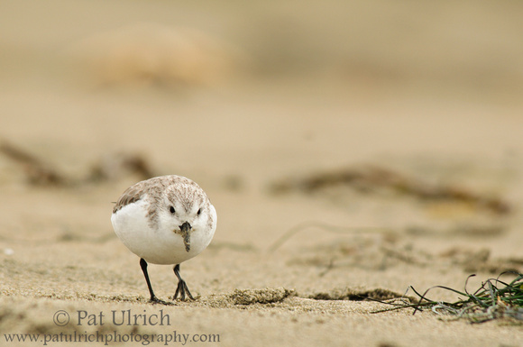 Sanderling looking for a meal on Limantour Beach