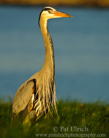 Great blue heron stands tall