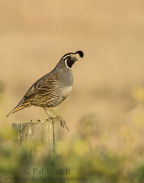 Profile view of a California quail in Point Reyes National Seashore