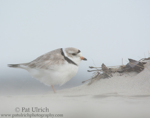 Piping plover in blowing sand