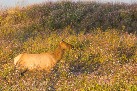 Female tule elk in summer wildflowers in California