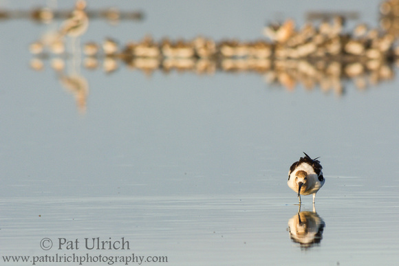 Wildlife Photography by Pat Ulrich: Avocets &emdash; Avocet feeding