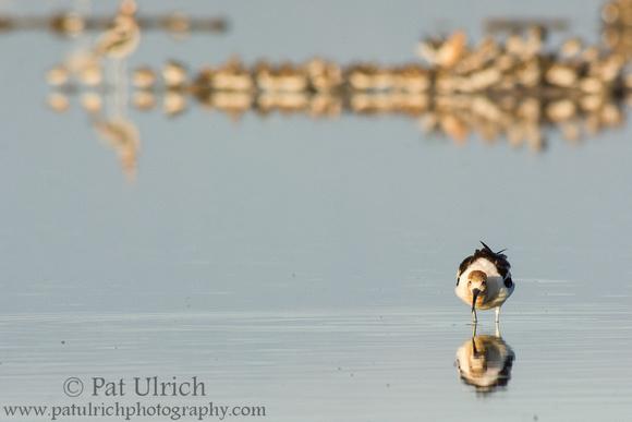 Wildlife Photography by Pat Ulrich: Avocets &emdash; Avocet feeding
