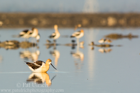Wildlife Photography by Pat Ulrich: Avocets &emdash; Group of avocets