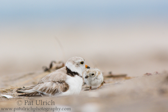 Piping plover chick snuggles in to brood
