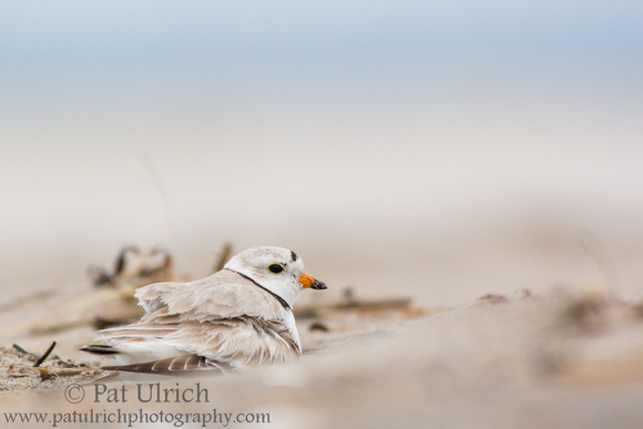 Piping plover brooding its chick