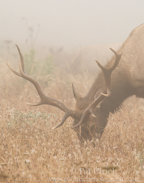 Tule elk grazing in fog at Tomales Point, Point Reyes National Seashore