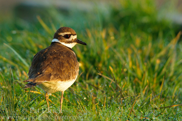 Killdeer in dew covered grass