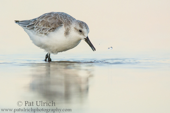 Sanderling wading through the shallows at dusk