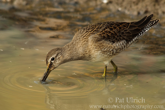 Dowitcher with submerged bill