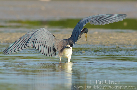 Tricolored heron hunting behavior